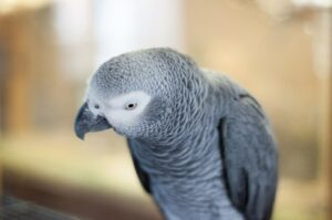 Congo African Grey Parrot Looking Down