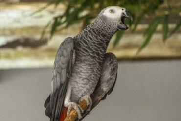 What To Feed An African Grey Parrot