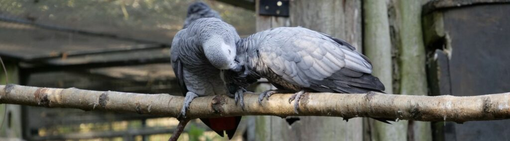 African grey parrots on a branch