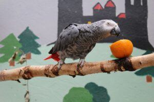 A Congo African Grey On A Branch Eating An Orange