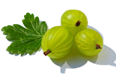 Gooseberries can be fed to parrots